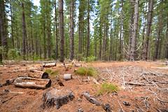 Pine Detritus (sean-osullivan) Tags: trees sky green nature pinetree pine landscape log nikon outdoor logging wideangle adelaide tall needles southaustralia treestump d610 adelaidehills forrestfloor kuitpoforrest forrestdetritus