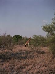 Lonely Giraffe (chillbay) Tags: africa southafrica giraffe krugernationalpark kruger tandatula krugerafrica