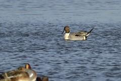 _HNS6877 Pijlstaart : Canard pilet : Anas acuta : Spiessente : Northern Pintail