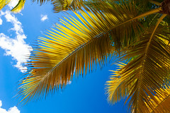 Palm Tree, Montego Bay, Jamaica (ncs1984) Tags: travel canon island bay ngc jamaica tropical caribbean montegobay montego 6d caribbeansea canonef1635mmf28 canonef1635f28 canon6d