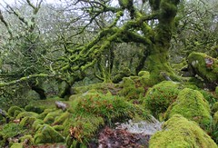 (elisecavicchi) Tags: uk winter england storm green grass leaves rain moss gloomy stones vibrant south united kingdom devon fallen dartmoor twisted gnarled wod wistmans