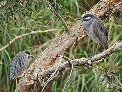 Yellow-crowned Night-Herons 20160211 (Kenneth Cole Schneider) Tags: florida miramar westbrowardwca