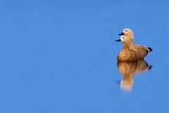 Ruddy Shelduck (pallab seth) Tags: india colour bird nature landscape asia southeastasia ducks migratory waterfowl habitat tropics wetland ecotourism westbengal ruddyshelduck tadornaferruginea riverteesta brahminyducks nikond7000 pallabseth tamronspaf70300mmf456divcusdlens gajoldobabarrage gajaldoba