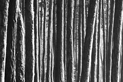 (Ali Gardener) Tags: wood monochrome les forest trunks foret bois