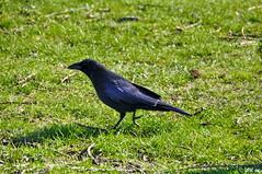 Saatkrhe (MacroManni) Tags: germany deutschland kln nrw krhe rabenvogel rheinpark