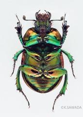 Phelotrupes(Chromogeotrupes) auratus auratus (Motschulsky,1857)7 (kenta_sawada6469) Tags: macro nature colors japan insect japanese metallic beetle insects beetles specimen coleoptera dungbeetle scarabaeoidea