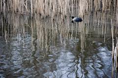 Park Het Loo (Mary Berkhout) Tags: reflection water pond serene voorburg zuidholland moorhen parkhetloo maryberkhout
