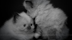 Cute Kittens (dr.7sn Photography) Tags: bw cats cute animals kittens portret  himalayan