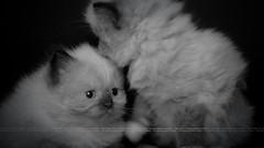 Cute Kittens (dr.7sn Photography) Tags: bw cats cute animals kittens portret و himalayan صور حيوانات مون بورتريه اسود قطط كيوت قطة ابيض اليفة فيس كتن هيملايا كيتينز كيتين