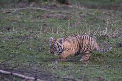 Tigron de Sibrie (jeanot94) Tags: tigredesibrie tigredelamour parcdesflins tigreblanc tigredesumatra tigredubengale