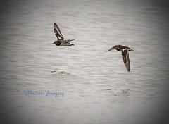 Perfect flight. (Albatross Imagery) Tags: bird nature birds flickr wildlife birdsinflight turnstone rspb wildbirds wildbird ukwildlife