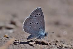 Glaucopsyche (Glaucopsyche) melanops (Boisduval, 1828) (Jess Tizn Taracido) Tags: lepidoptera lycaenidae papilionoidea polyommatinae glaucopsychemelanops polyommatini