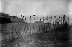 Malta BW- onion field (rhizomeblur) Tags: mediumformat malta ilfordfp4 mamiya645afdii schneiderxenotarmf80mm28