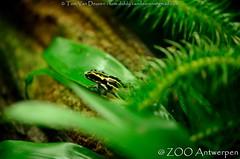 amazonegifkikker - Ranitomeya ventrimaculata - Reticulated poison frog (MrTDiddy) Tags: zoo amphibian frog gif antwerp poison dart antwerpen zooantwerpen kikker reticulated pijl amazone amfibie pijlgifkikker gifkikker ranitomeya ventrimaculata amazonegifkikker