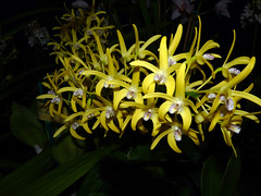 the 2016 pacific orchid exposition, Dendrobium Starbright 'Vista' hybrid orchid (nolehace) Tags: dendrobium starbright vista hybrid orchid 216 nolehace winter fz35 bloom plant flower sanfrancisco
