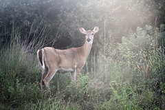 White-Tailed Doe in the Woods (ambeanerxcore) Tags: lighting white nature female outside texas shot outdoor wildlife tail doe best deer national heavenly aransas refuge whitetailed odocoileus virginianus austwell
