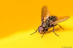 ..:: fly on yellow landing area ::.. (bora_binguel) Tags: detail macro nature animal yellow insect fly natur gelb makro farbe insekt tier fliege sar bcek hayvan doa sinek bobidigitalphotography