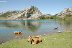 Una maana calurosa - Asturias (Gabriel Bermejo Muoz) Tags: park parque espaa naturaleza mountain lake reflection verde green nature water rural landscape lago rustico reflecting cow nationalpark high spain agua europa european cattle natural asturias natura paisaje reflejo ganado enol neat peaks montaa altura cordillera picos vaca glacial picosdeeuropa parquenacional covadonga lagosdecovadonga naturalpark asturiano parquenatural lagoenol macizo cordilleracantabrica altitud montaoso peaksofeurope lakesofcovadonga