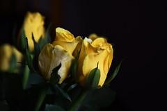 DSC_0776 Roses (PeaTJay) Tags: flowers roses plants macro nature rose gardens fauna reading flora indoors micro closeups berkshire rosebuds lowerearley nikond750