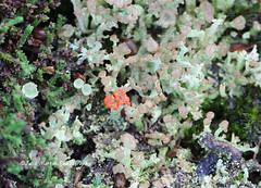 Cladonia ramulosa (brown) and Cladonia florkeana (red) (juliam23) Tags: uk winter macro nature canon lens eos buxton fungi heath lichens cladonia ef100mm norfollk 60d calonia ramulosa lichenised florkeana