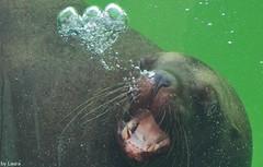 Steller (supermandrin1) Tags: madrid sea espaa verde green water animals de photography spain agua marine lion bubble animales mammals len faunia burbuja marino fotografa steller marinos mamferos pinpedos