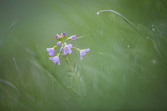 morning on the meadow (Lena Held) Tags: world life flowers blue light wild plants sunlight plant black flower color green water colors grass yellow canon germany bayern deutschland bavaria lights daylight drops colorful wasser flickr bokeh withe wildlife natur pflanzen meadow wiese blumen daily german colored tele waterdrops blume today blte 70200 wassertropfen frhling 6d telezoom