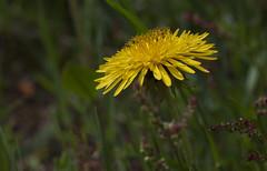 L'accroche coeur (mrieffly) Tags: fleurs pissenlit canoneos50d vosgesalsace 100400issriel