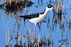 BLACK NECKED SILT (Aspenbreeze) Tags: bird nature water birds reeds outdoors migration silt shorebirds wildbird bearrivermigratorybirdrefuge longleggedbirds utahwildlife moonandbackphotography bevzuerlein blackneckedsilt aspenbrreezes
