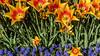 EMİRGAN NIKON0325 LR5 (fbegemenfb) Tags: plant flower field turkey landscape nikon outdoor türkiye sigma istanbul flowerbed türkei tulip d750 fullframe tulpe sigma50mm lale emirgan emirgankorusu sigma50mmf14 lalefestivali sigmaart tulipsfest sigmaartseries nikond750 nikontürk tamkare