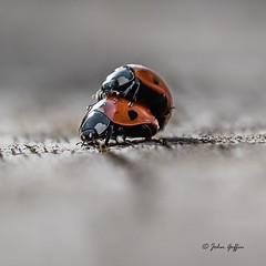 Ladybirds (johnboy!) Tags: macro ladybird mating