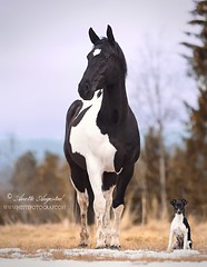 Bojek 3 (Hestefotograf.com) Tags: show friends summer horse dog white black girl norway bareback jump mare dress lets hannah go canine run riding pony barefoot welsh arabian elegant cob bestfriend rider equestrian canter equine pinto equus equipage skien