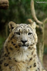 Eyes of Nature (Setsukoh) Tags: park portrait france face animal cat zoo big furry frankreich chat asia europa europe leopard bigcat figure asie once animaux lorraine parc metz mosel flin moselle neiges zoopark fauve panthre panthera lopard animalier amnville filis lothringen uncia zooparc