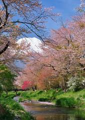 Spring River (mon_masa) Tags: mountain japan river landscape countryside spring scenery fuji outdoor blossoms mountfuji sakura fujisan cherryblossoms cherrytree fujiyama