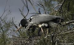 _DSC0446 (chris30300) Tags: france heron de pont parc oiseau camargue gau saintesmariesdelamer flamant provencealpesctedazur ornithologique