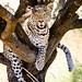 Leopard in a short tree