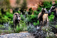 ALL ABOUT THE LOVE ... (Aspenbreeze) Tags: nature outdoors colorado wildlife wildanimal desertbighornsheep bighornsheep coloradonationalmonument coloradowildlife aspenbreeze bighornsheeplambs moonandbackphotography bevzuerlein coloradonationalmonumentwildlife