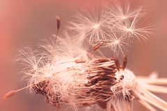 Rock Me Gently (charhedman - away till June) Tags: pink plant macro spring bokeh dandelion seedhead fairies hss slidersunday