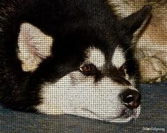 DSC_3025 (Aidan MBN) Tags: rescue dog malamute deisel