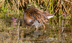 Water Rail (The Rustic Frog) Tags: life camera uk wild england nature water digital canon lens eos wildlife brandon reserve rail 7d trust marsh scratch 100400mm warwickshire itch midlands markii