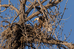 Bald Eagle brings rabbit to its nest - sequence - 12 of 13