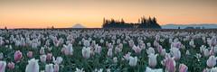 moments before sunup (Ben McLeod) Tags: flowers panorama field sunrise dawn tulips mthood woodenshoetulipfarm