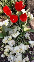 Red and white (Tim Brown's Pictures) Tags: street flowers color sunshine gardens washingtondc spring blossoms dupontcircle 2016