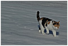 making tracks (KvikneFoto) Tags: cats katter