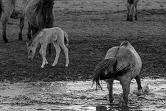 Wild Horses in black-and-white - Bathing - 2016-013_Web (berni.radke) Tags: horse pony bathing herd nordrheinwestfalen colt wildhorses foal fohlen croy herde dlmen feralhorses wildpferdebahn merfelderbruch merfeld przewalskipferd wildpferde dlmenerwildpferd equusferus dlmenerpferd dlmenpony herzogvoncroy wildhorsetrack