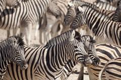 Zebra (wietsej) Tags: reflex minolta sony zebra 500 namibia etosha a700