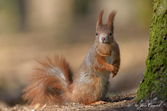Red Squirrel winter 2016 (Jan Canck) Tags: trees winter nature animals forest nikon squirrel wildlife ngc npc czechrepublic cz mammals rodents redsquirrel d810 mladboleslav winter2016 centralbohemiaregion nikon200500f56 squirrelwinter2016