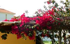 Bougainvillea (RobW_) Tags: bougainvillea april friday zakynthos tsilivi 2016 29apr2016