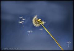 Dente di leone (celestino2011) Tags: macro blu natura soffione