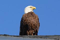 American Bald Eagle (adrienschwartzm) Tags: americanbaldeagle nikond7100 sigma120300mmf28sport sigmatc1401