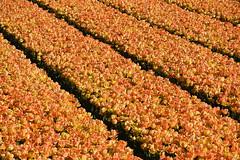 Orange tulips (cklx) Tags: red holland yellow spring tulips may tulip april brightcolors tulpen noordwijkerhout tulp lisse 2016 bollenstreek hillegom